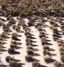Nevada birds images Bureau of land management determines bird deaths from pvc mining jpg