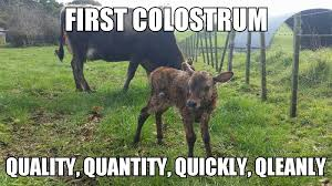 Calves Meme - first colostrum antahi optimum calf care made easy
