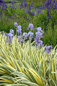 Sweet Flag Herb Variegated Sweet Iris Monrovia Variegated Sweet Iris