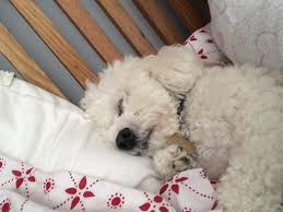 bichon frise 17 years old male neutered bichon frise almost 4 years old in uddingston