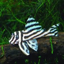 australian native aquatic plants rare fish available from our aquarium store amazing amazon
