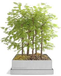 Small Indoor Trees by Dawn Redwood Bonsai Gift Set U2013 Grow Bonsai Bonsai Trees Bonsai