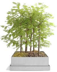 dawn redwood bonsai gift set u2013 grow bonsai bonsai trees bonsai