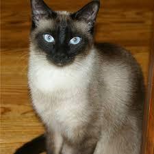 fluffy siamese cats for sale 2016 siamese cats