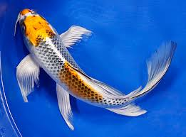 do you these japanese koi varieties info