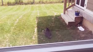 a cat hunting a rat youtube