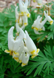 14 best dutchmans breeches images on pinterest bleeding hearts