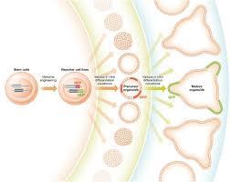 organoid technologies meet genome engineering embo reports