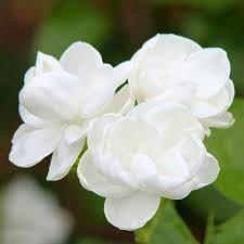 Fragrant Plants For Indoors Jasmine Seed Jasminum Sambac Bonsai Indoor Plants Perennial White