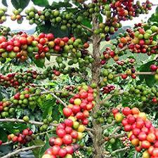 hirt s arabica coffee bean plant 3 5 pot grow