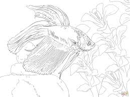 betta fish coloring page siamese fighting fish coloring page free
