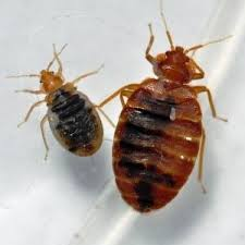 Bed Bugs What To Do Bed Bugs Reported In Norfolk Middle Mycleaningproducts Com
