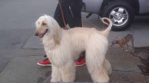 afghan hound in apartment very nice afghan sheepdog sudan at the home depot monticello new