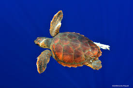 species profile which sea turtles are most at risk for fisheries