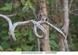 tree vines stock images royalty free images vectors