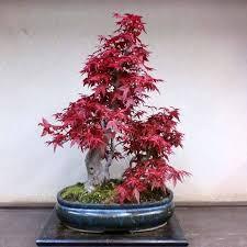 20 pcs bag japanese maple seeds toronto maple leafs tree seeds