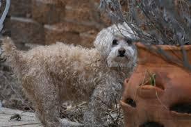 belgian sheepdog gifts the pack lamb creek groenendaels