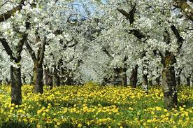 facts about apple blossoms hunker