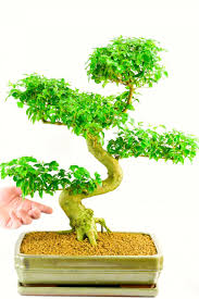 banyan bonsai tree for sale how to care for bonsai tree indoors