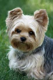 haircut for morkies 11 best haircuts images on pinterest yorkie doggies and yorkie
