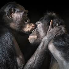 siege social bonobo 557 best animals images on animaux animals and