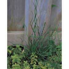 wisteria perennials garden plants flowers the home depot spiralis corkscrew rush juncus live plant spiraled green foliage 4 5 in