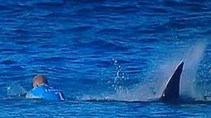Great White Shark Attack Cape Cod - watch great white shark attacks seal in shallow waters of a cape