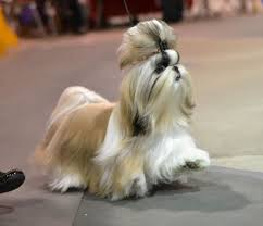 shih tzu breed standards as prescribed by the american kennel club