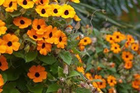 Climbing Plants That Flower All Year - top 10 climbing plants for a small trellis dengarden