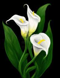 cala lillies calla flower solidaria garden