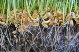 mycorrhizae fungi molasses u0026 rock phosphate garden culture