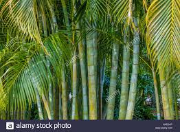 areca palm dypsis lutescens also known as bamboo palm golden
