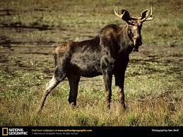 moose picture moose desktop wallpaper free wallpapers download