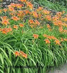 daylilies for sale nature s orange daylily plants buy daylily plants online