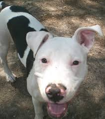 american pitbull terrier gray american pitbull terrier mix with american bulldog dog and cat