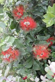 native nz plants nz christmas bush hedge plants and garden pinterest plants