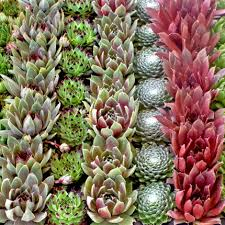 succulents for sale online mountain crest gardens succulent plants