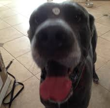affenpinscher illinois springfield il great dane meet konga a dog for adoption