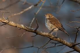 hermit thrush audubon field guide