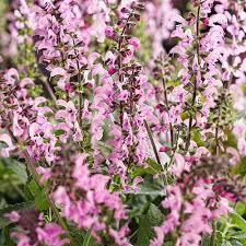 salvia flower color spires pink perennial salvia salvia hybrid
