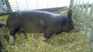 the foodie farmer pigs of different colors