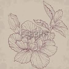 hibiscus outline drawing elegant vector background royalty free