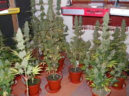 how well would a plant grow under pure yellow light power plant grow review grown from seed to harvest under 12 12