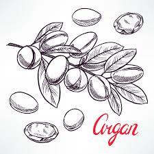 argan sketch tree branch stock vector image 62356639