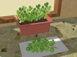 in door plant put in pot vide expert advice on how to grow cilantro wikihow
