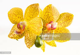 Yellow Orchid Beautiful Yellow Orchid On White Background Stock Photo Getty Images