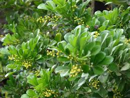 native chinese plants chinese perfume tree facts u2013 learn about growing aglaia odorata plants