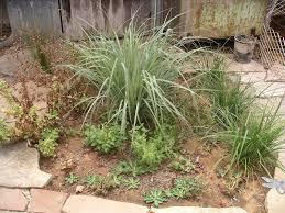 san diego native plant society a california native plant garden in san diego county august 2013