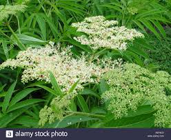 sambucus formosana ornamental elderberry stock photo royalty free