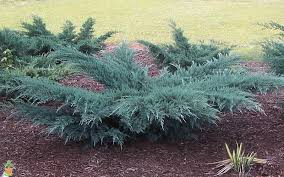 buy juniper shrubs the planting tree